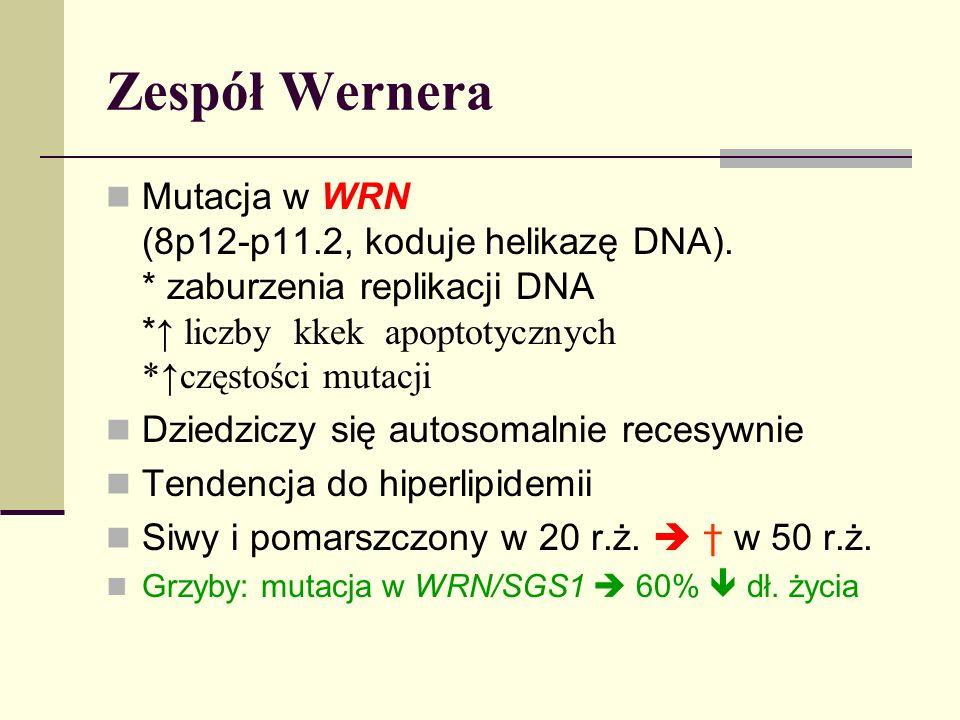 Zespół Wernera Mutacja w WRN (8p12-p11.2, koduje helikazę DNA). * zaburzenia replikacji DNA * liczby kkek apoptotycznych *częstości mutacji Dziedziczy