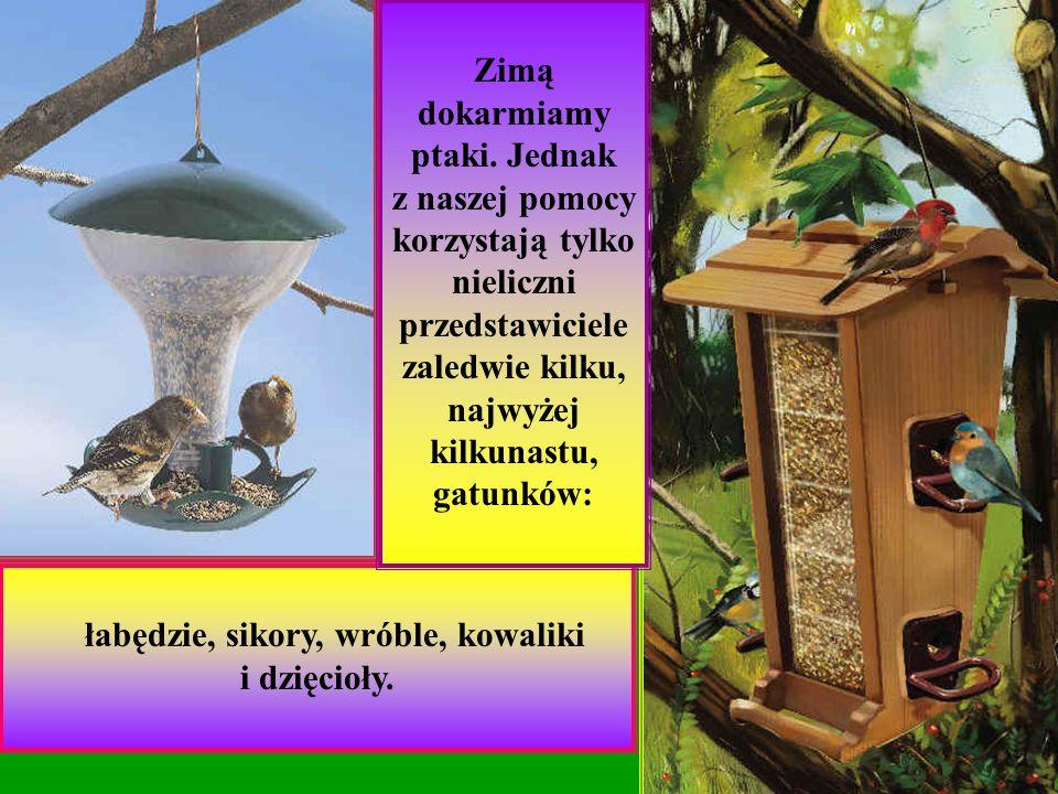 Zostało mnóstwo tych ptaków, które są dobrze przystosowane do warunków naszej kapryśnej zimy.