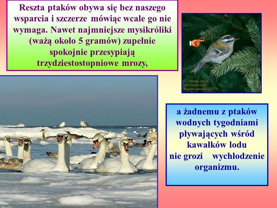 łabędzie, sikory, wróble, kowaliki i dzięcioły. Zimą dokarmiamy ptaki. Jednak z naszej pomocy korzystają tylko nieliczni przedstawiciele zaledwie kilk