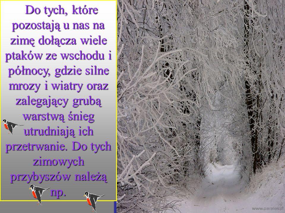 Do tych, które pozostają u nas na zimę dołącza wiele ptaków ze wschodu i północy, gdzie silne mrozy i wiatry oraz zalegający grubą warstwą śnieg utrudniają ich przetrwanie.