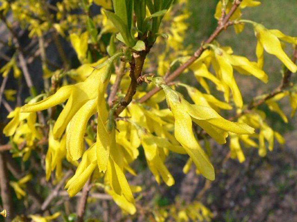 Forsycja Krzew o żółtych kwiatach pojawiających się przed liśćmi.