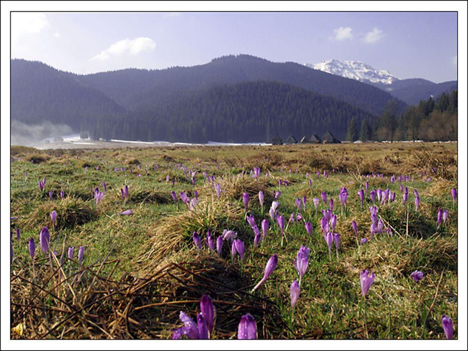 krokusy To obok przebiśniegów, najpopularniejsze, wczesnowiosenne kwiaty. Gdy tylko stopi się śnieg, zakwitają masowo na górskich halach. Najpopularni