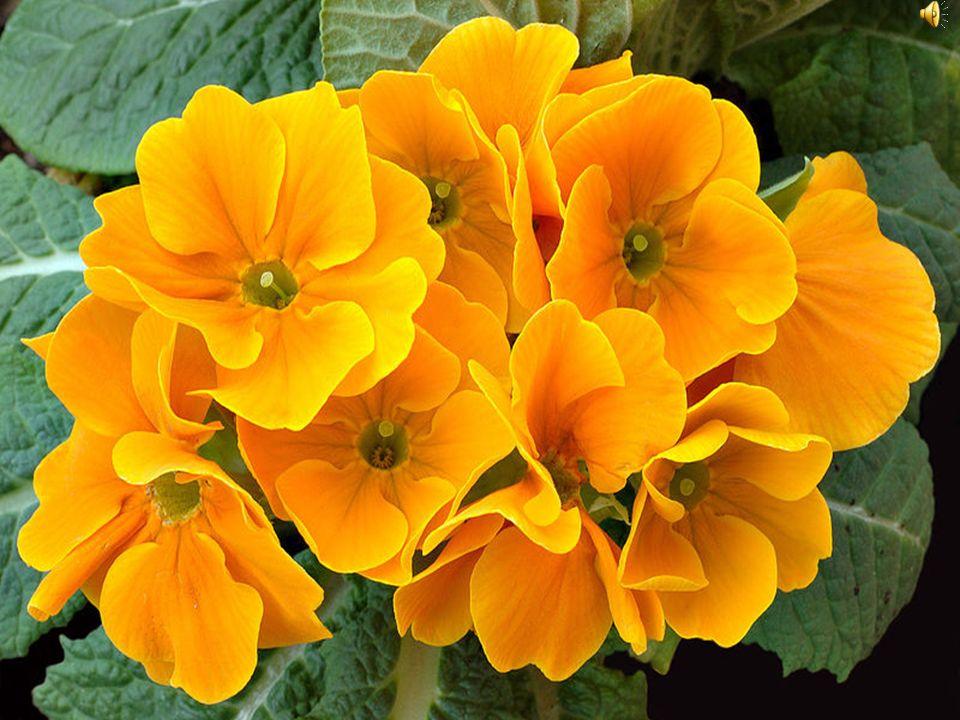 Pierwiosnek Istnieje niezliczona liczba odmian o dużych kwiatach, we wszystkich odcieniach barwy żółtej, różowej, pomarańczowej i czerwonej.