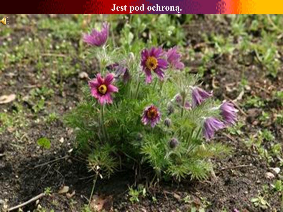 Sasanka Zakwita przed rozwinięciem się liści. Jej oryginalne, pokryte jedwabistym puchem fioletowe kwiaty zachwycają swą delikatnością. Po ich przekwi