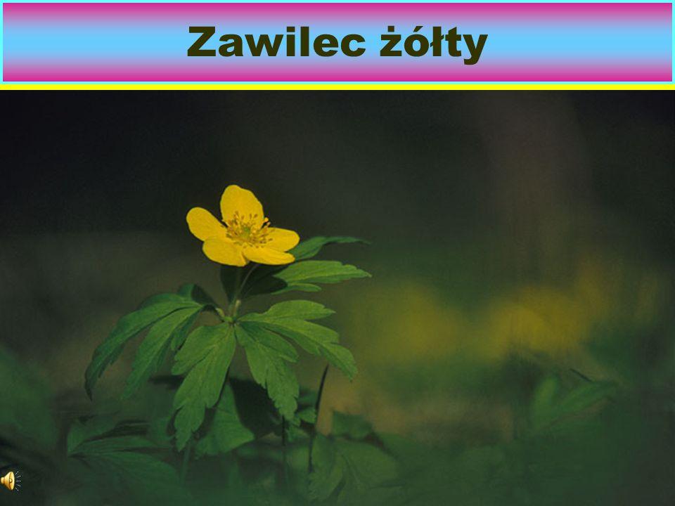 Zawilec W Polsce rosną dziko 4 gatunki. Najpospolitszy jest zawilec Gajowy.
