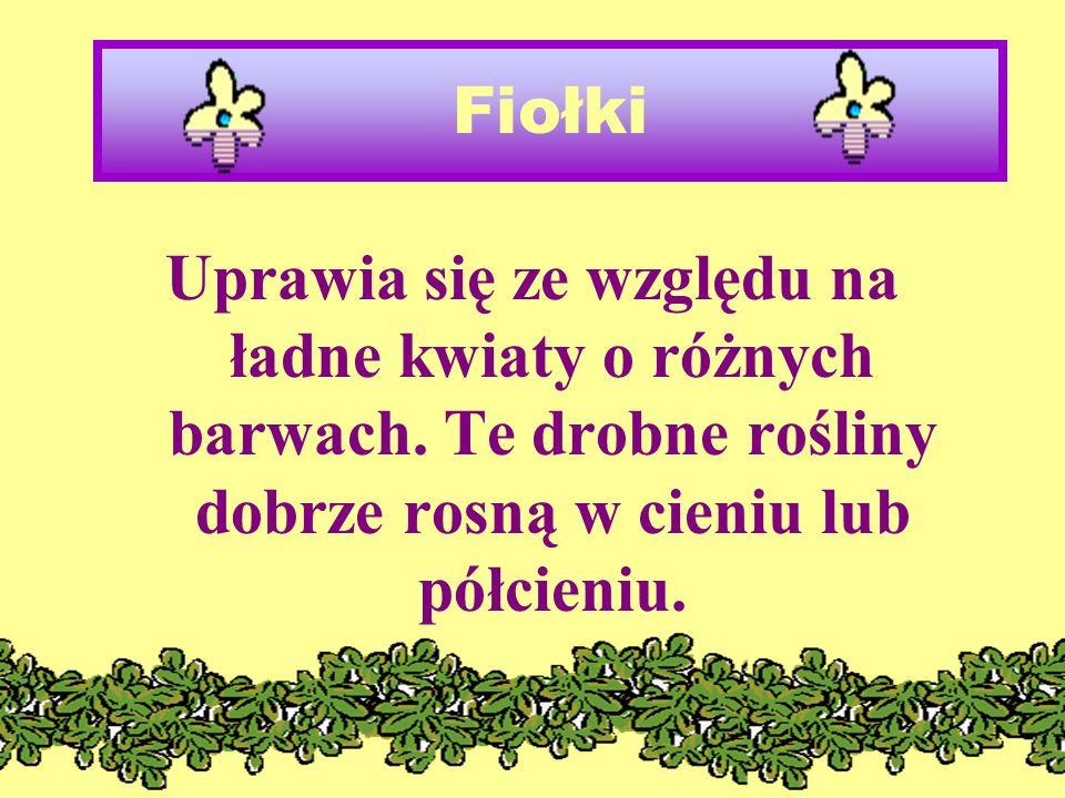 Fiołki Uprawia się ze względu na ładne kwiaty o różnych barwach.