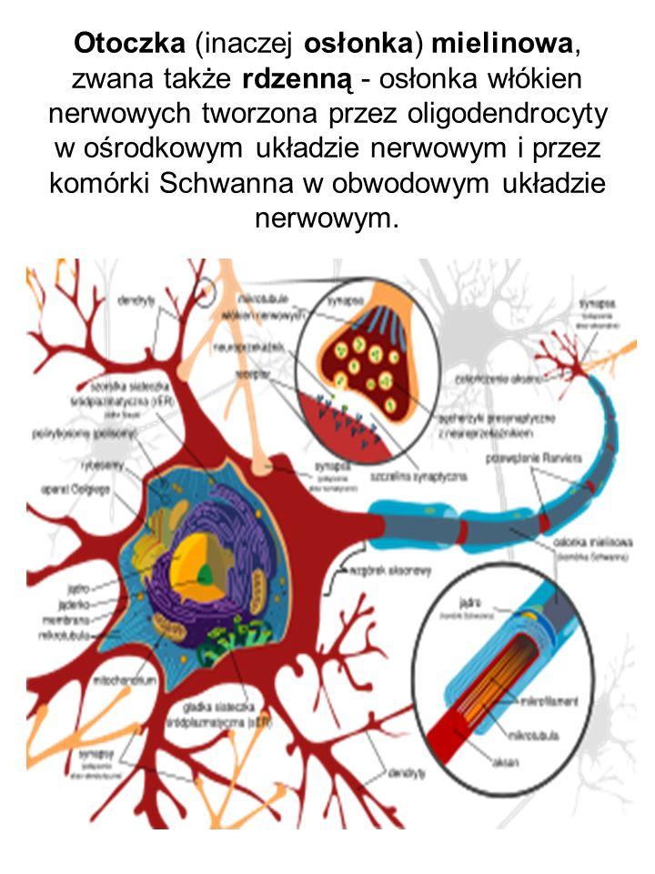 Otoczka (inaczej osłonka) mielinowa, zwana także rdzenną - osłonka włókien nerwowych tworzona przez oligodendrocyty w ośrodkowym układzie nerwowym i p