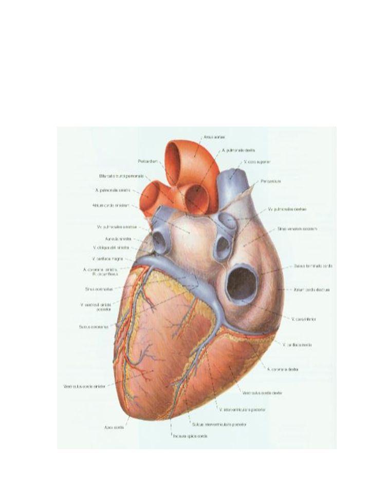 Serce składa się z: 2 przedsionków (prawy i lewy) 2 komór (prawa i lewa)