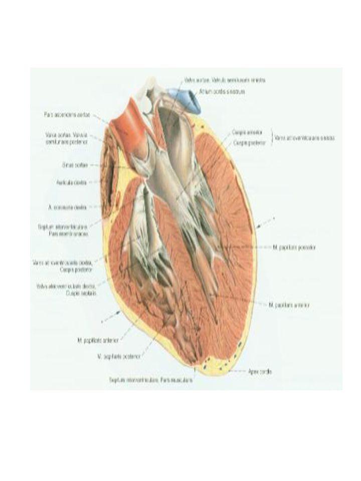 Obieg duży krwi: Rozpoczyna się w lewej komorze (aortą) a kończy w prawym przedsionku