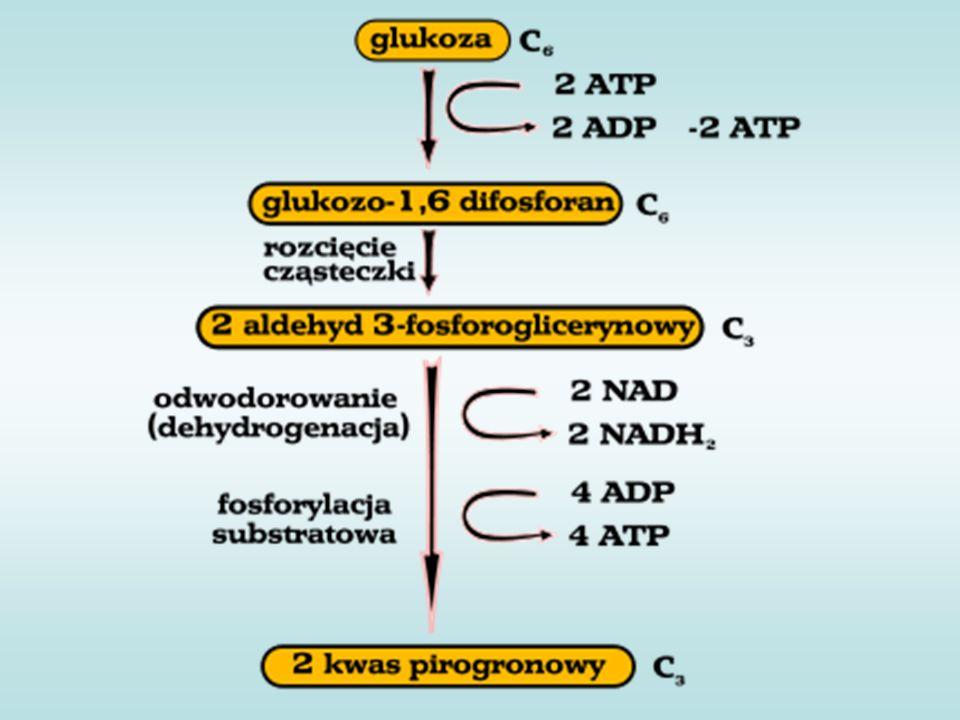 Etap 10: Znów odzysk energii – powstaje ATP z ADP