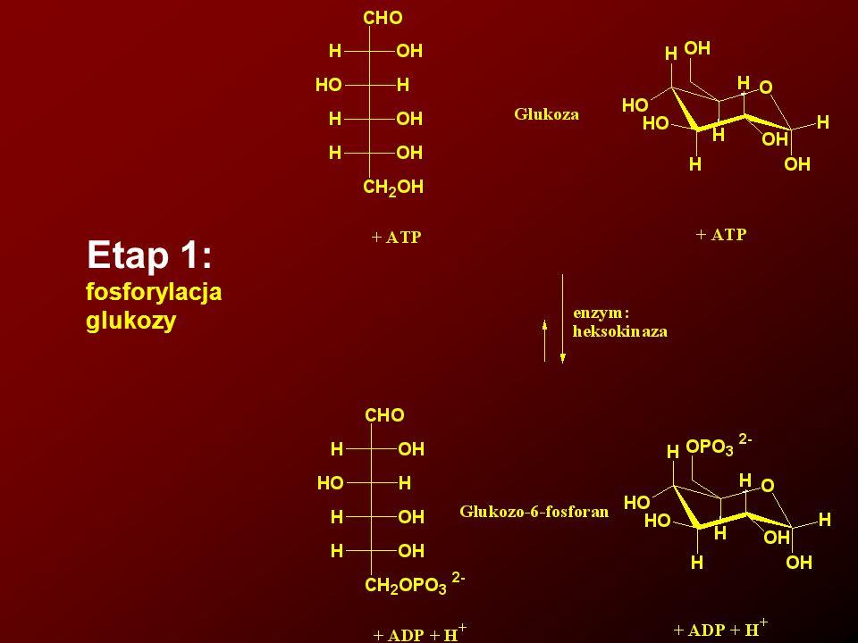 Bilans energetyczny glikolizy Reakcja Przemiana ADP ATP Glukoza glukozo-6-fosforan -1 Fruktozo-6-fosforan fruktozo-1,6-difosforan -1 2 cząsteczki 1,3-difosfoglicerynianu 2 cząsteczki 3-fosfogliceraynianu +2 2 cząsteczki fosfoenolopirogronianu 2 cząsteczki pirogronianu +2 NETTO +2