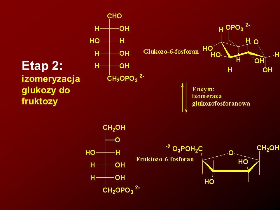 Pirogronian (C 3 ) może być dalej przekształcany w etanol (C 2 ) (drożdze), mleczan (w mięśniach w warunkach niedoboru tlenu) lub acetylokoenzym A (C 2 ), który bierze następnie udział w cyklu kwasu cytrynowego (kwasów trójkarboksylowych) i tam ostatnie wiązanie węgiel – węgiel pęka, a wydzielona energia jest zużywana w innych procesach życiowych.