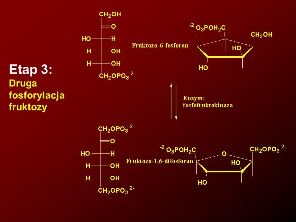 5. Bioenergetyka 5.2. Cykl kwasu cytrynowego