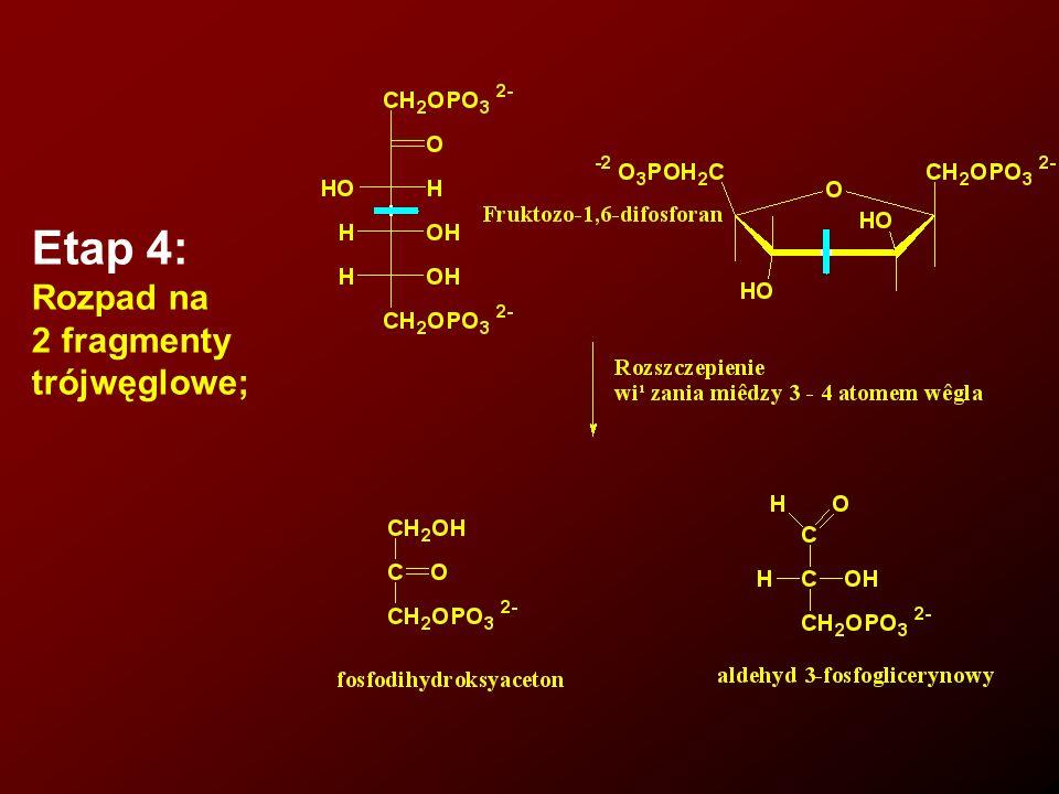 Energia, jaką komórka uzyskuje przy rozpadzie glukozy na dwa fragmenty (pęka jedno wiązanie) jest zmagazynowana w dwóch utworzonych cząsteczkach ATP.