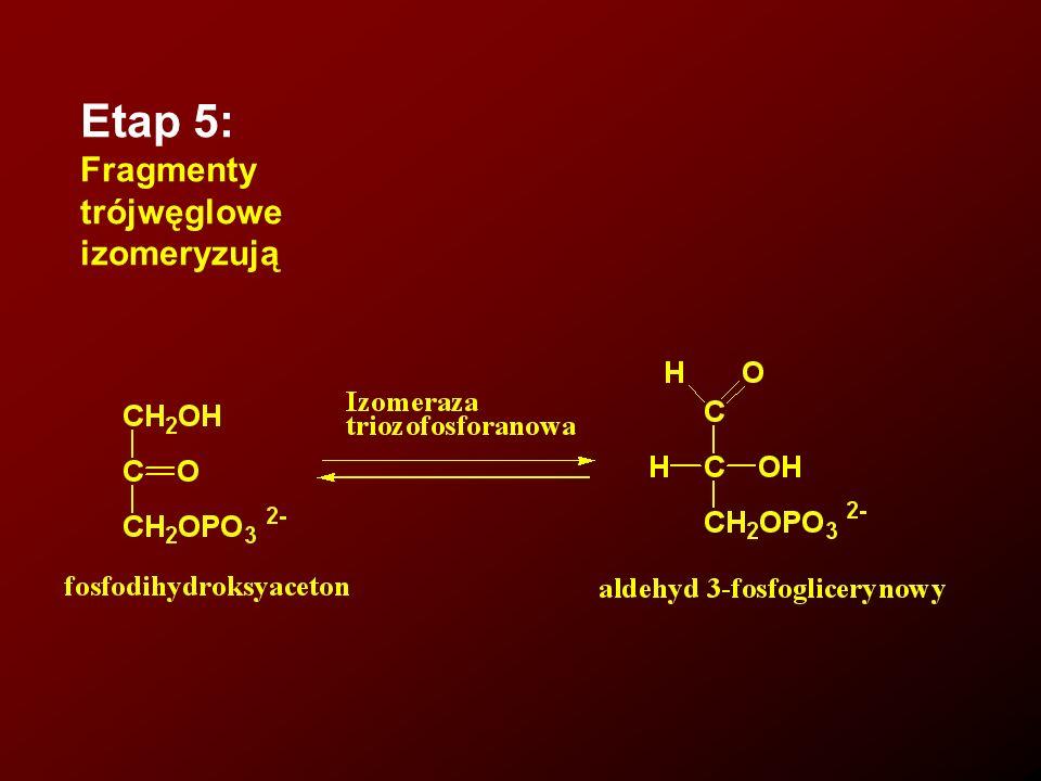 Etap 6: Odwodornienie i fosforylacja trójwęglowego fragmentu