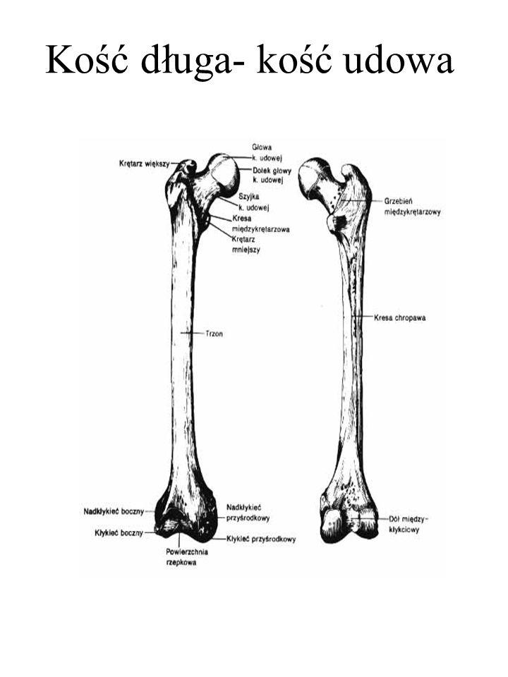 Kość długa- kość udowa