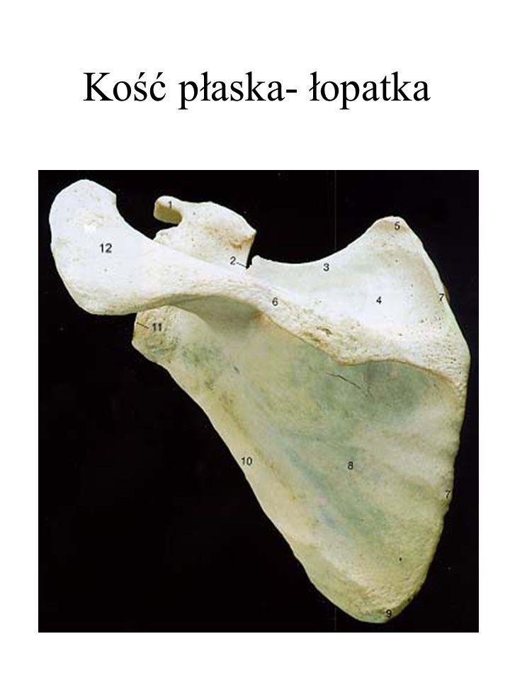 Kość płaska- łopatka