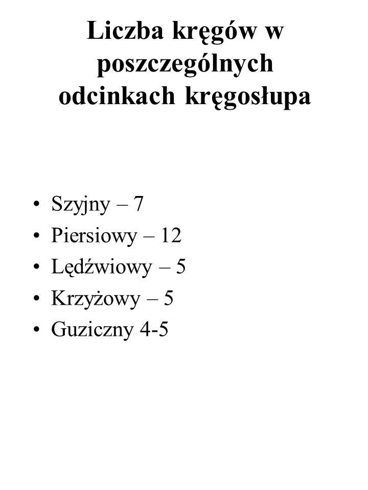 Liczba kręgów w poszczególnych odcinkach kręgosłupa Szyjny – 7 Piersiowy – 12 Lędźwiowy – 5 Krzyżowy – 5 Guziczny 4-5