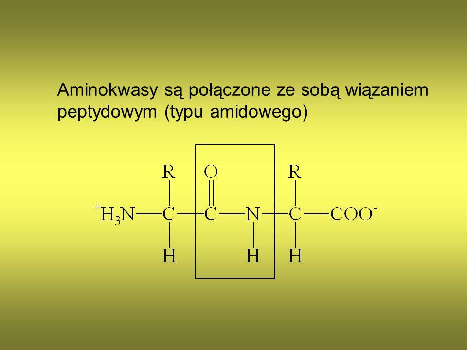 Aminokwasy są połączone ze sobą wiązaniem peptydowym (typu amidowego)