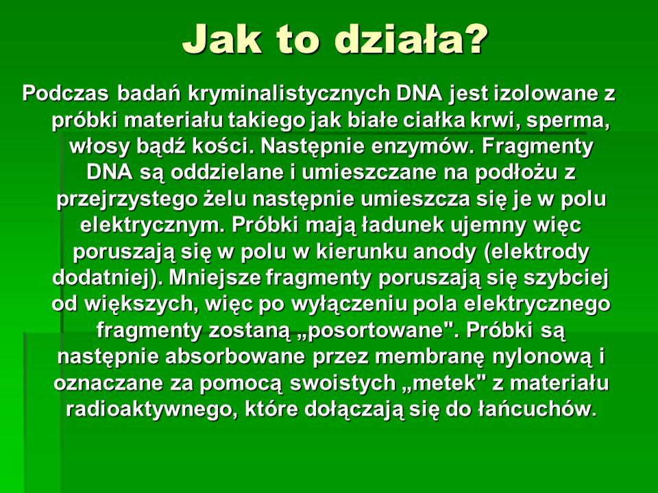 Jak to działa? Podczas badań kryminalistycznych DNA jest izolowane z próbki materiału takiego jak białe ciałka krwi, sperma, włosy bądź kości. Następn