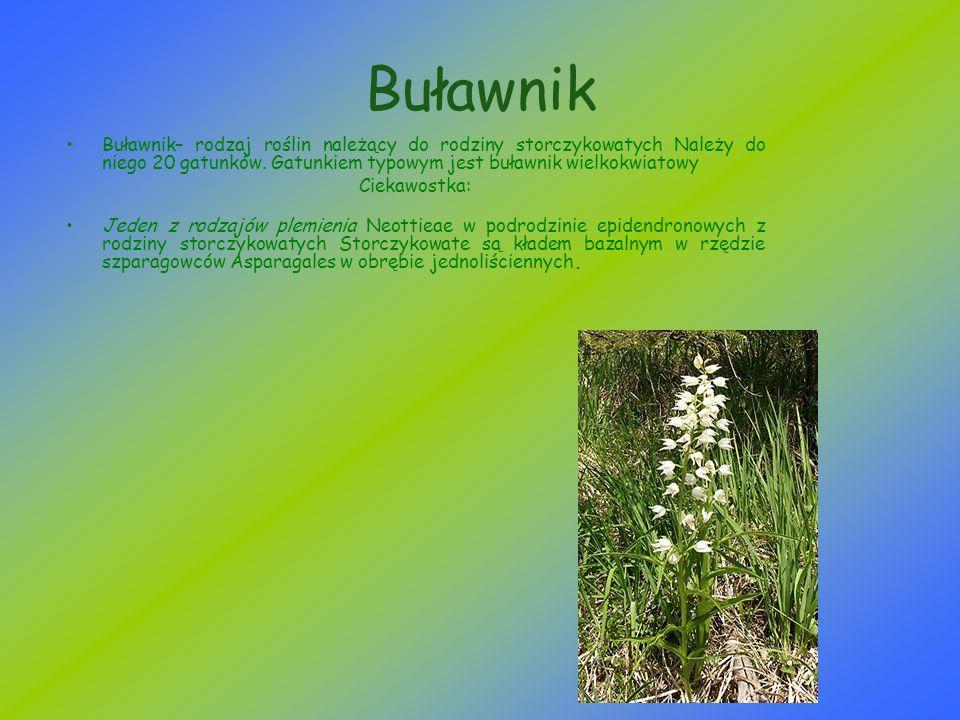 Buławnik Buławnik– rodzaj roślin należący do rodziny storczykowatych Należy do niego 20 gatunków. Gatunkiem typowym jest buławnik wielkokwiatowy Cieka