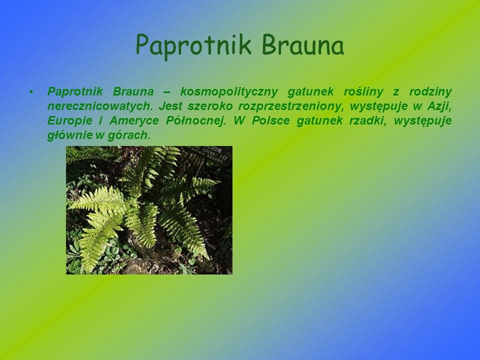 Paprotnik Brauna Paprotnik Brauna – kosmopolityczny gatunek rośliny z rodziny nerecznicowatych. Jest szeroko rozprzestrzeniony, występuje w Azji, Euro