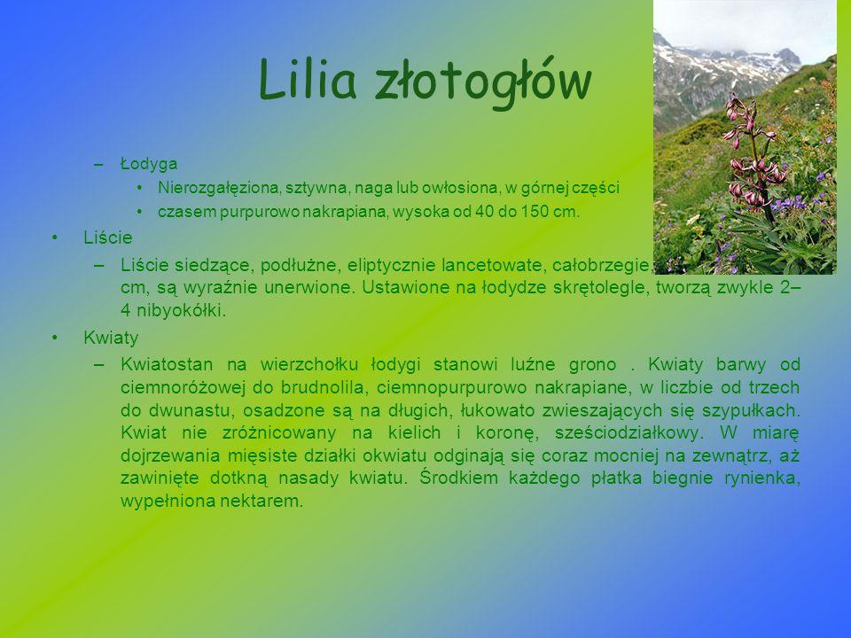Lilia złotogłów –Łodyga Nierozgałęziona, sztywna, naga lub owłosiona, w górnej części czasem purpurowo nakrapiana, wysoka od 40 do 150 cm. Liście –Liś
