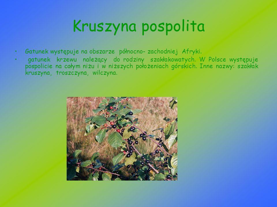 Kruszyna pospolita Gatunek występuje na obszarze północno- zachodniej Afryki. gatunek krzewu należący do rodziny szakłakowatych. W Polsce występuje po