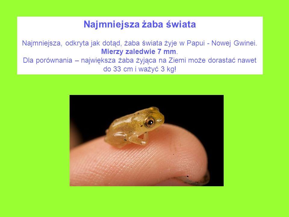 Najmniejsza żaba świata Najmniejsza, odkryta jak dotąd, żaba świata żyje w Papui - Nowej Gwinei. Mierzy zaledwie 7 mm. Dla porównania – największa żab