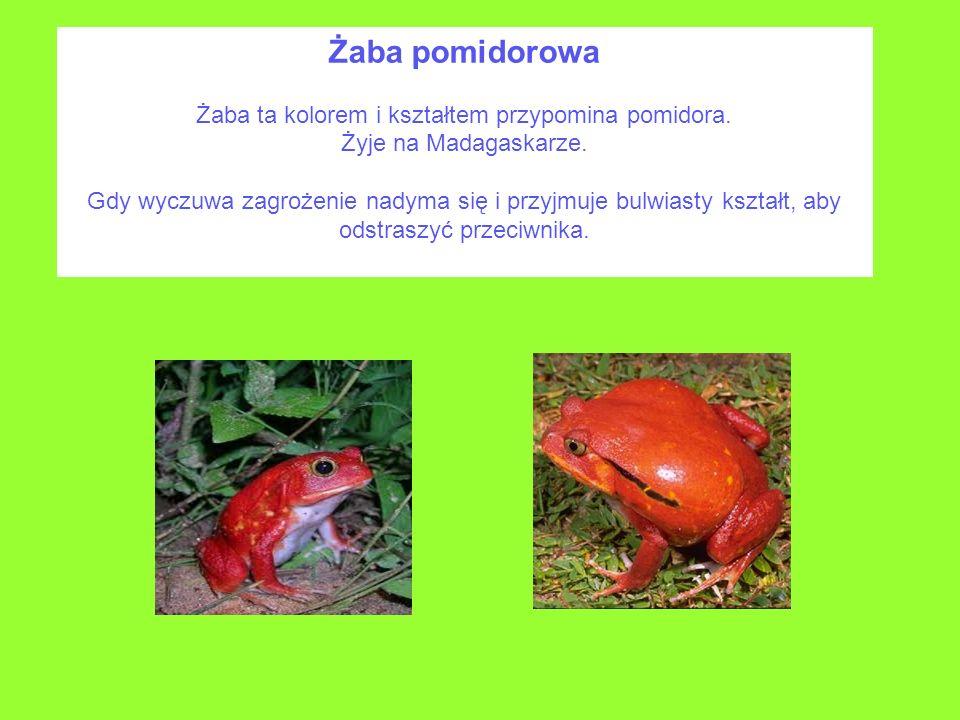 Żaba pomidorowa Żaba ta kolorem i kształtem przypomina pomidora. Żyje na Madagaskarze. Gdy wyczuwa zagrożenie nadyma się i przyjmuje bulwiasty kształt