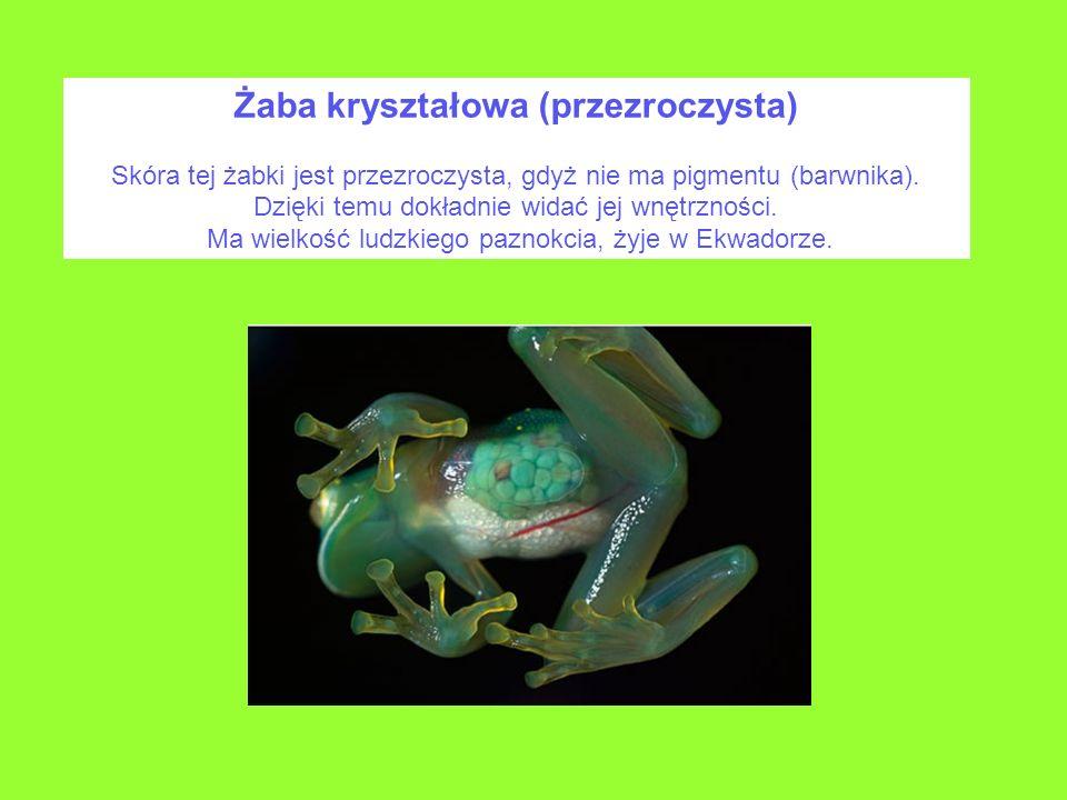 Żaba kryształowa (przezroczysta) Skóra tej żabki jest przezroczysta, gdyż nie ma pigmentu (barwnika). Dzięki temu dokładnie widać jej wnętrzności. Ma