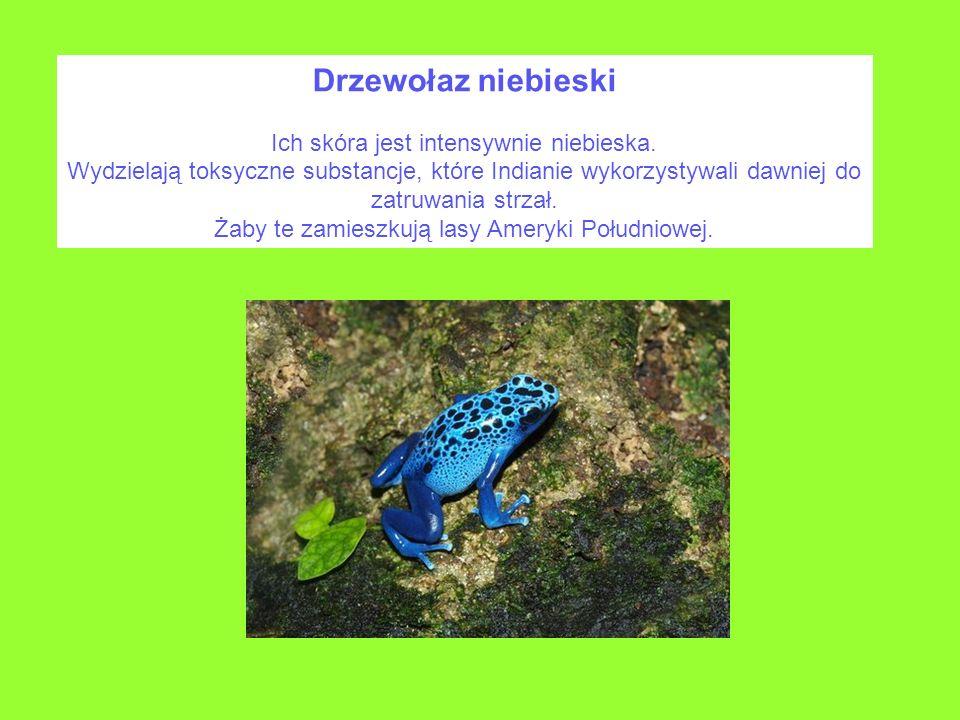 Drzewołaz niebieski Ich skóra jest intensywnie niebieska. Wydzielają toksyczne substancje, które Indianie wykorzystywali dawniej do zatruwania strzał.