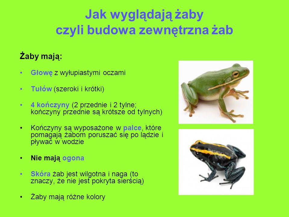 Jak wyglądają żaby czyli budowa zewnętrzna żab Żaby mają: Głowę z wyłupiastymi oczami Tułów (szeroki i krótki) 4 kończyny (2 przednie i 2 tylne; kończ
