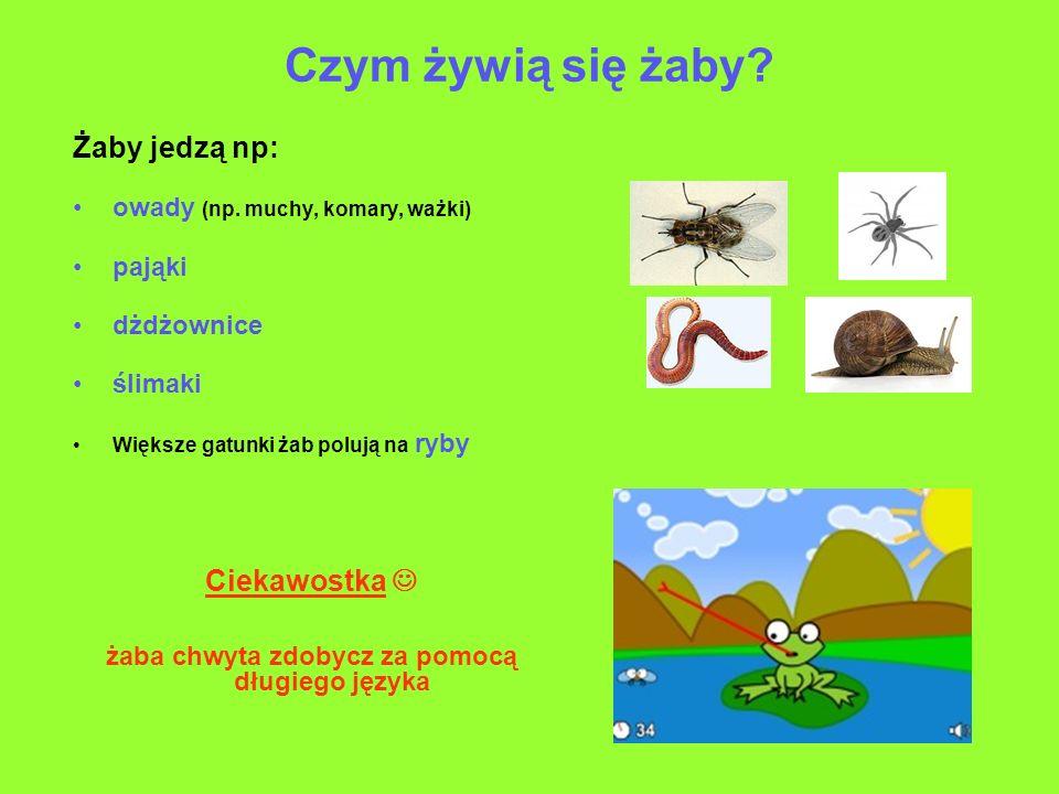 Czym żywią się żaby? Żaby jedzą np: owady (np. muchy, komary, ważki) pająki dżdżownice ślimaki Większe gatunki żab polują na ryby Ciekawostka żaba chw