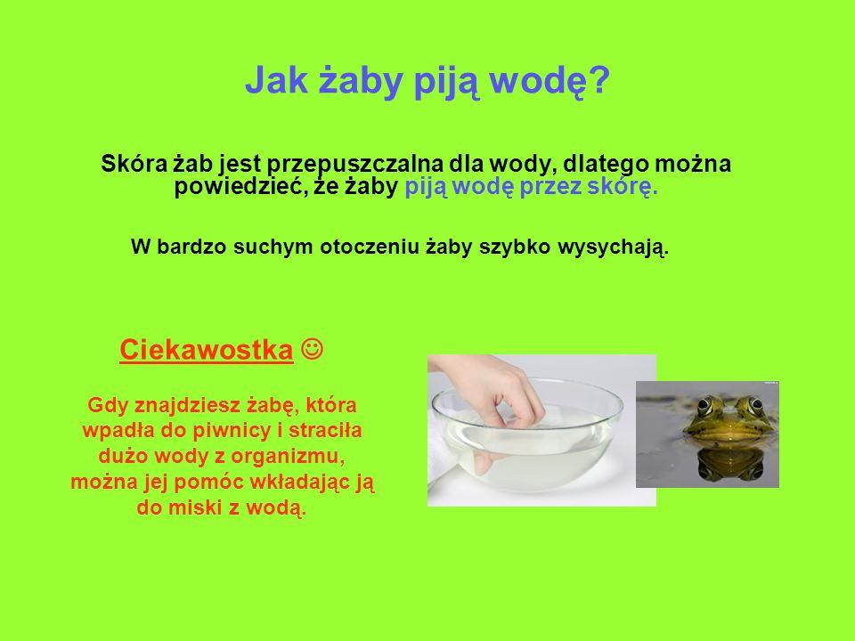 Jak żaby piją wodę? Skóra żab jest przepuszczalna dla wody, dlatego można powiedzieć, że żaby piją wodę przez skórę. W bardzo suchym otoczeniu żaby sz