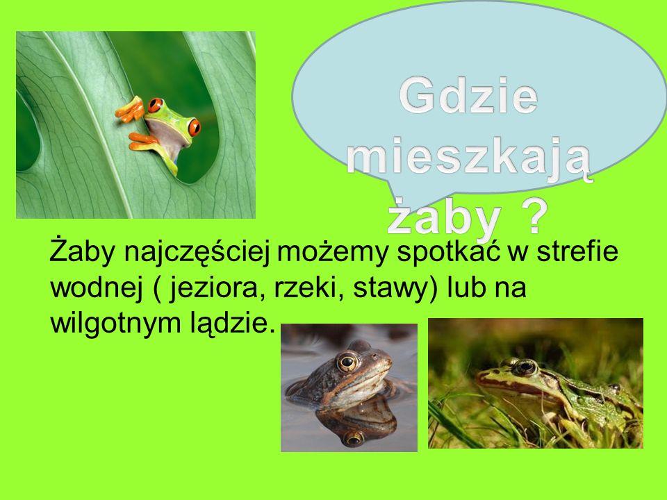 Żaby najczęściej możemy spotkać w strefie wodnej ( jeziora, rzeki, stawy) lub na wilgotnym lądzie.