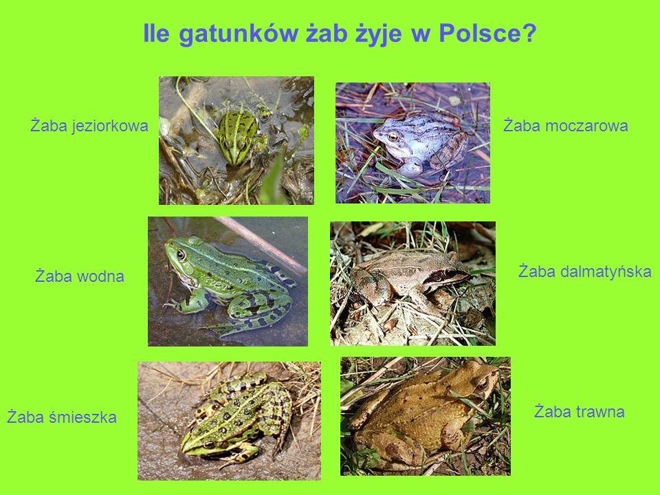 Ile gatunków żab żyje w Polsce? Żaba jeziorkowaŻaba moczarowa Żaba wodna Żaba dalmatyńska Żaba śmieszka Żaba trawna