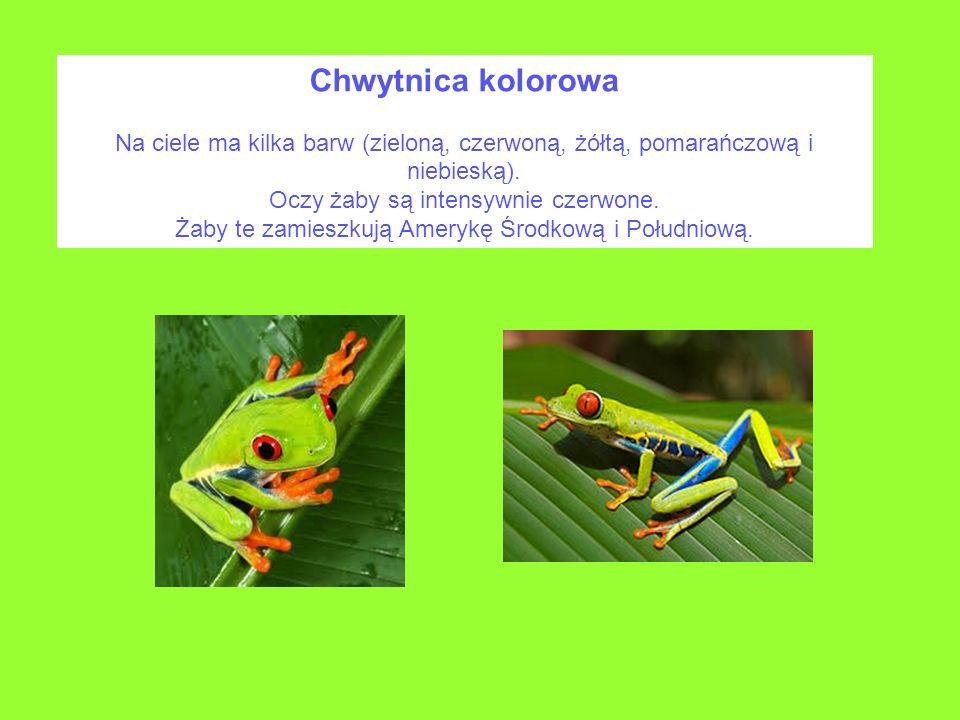 Chwytnica kolorowa Na ciele ma kilka barw (zieloną, czerwoną, żółtą, pomarańczową i niebieską). Oczy żaby są intensywnie czerwone. Żaby te zamieszkują