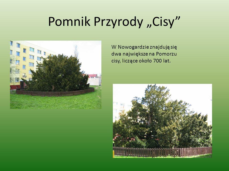 Pomnik Przyrody Cisy W Nowogardzie znajdują się dwa największe na Pomorzu cisy, liczące około 700 lat.