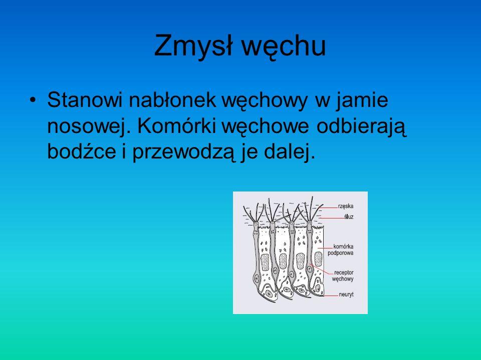 Zmysł węchu Stanowi nabłonek węchowy w jamie nosowej. Komórki węchowe odbierają bodźce i przewodzą je dalej.