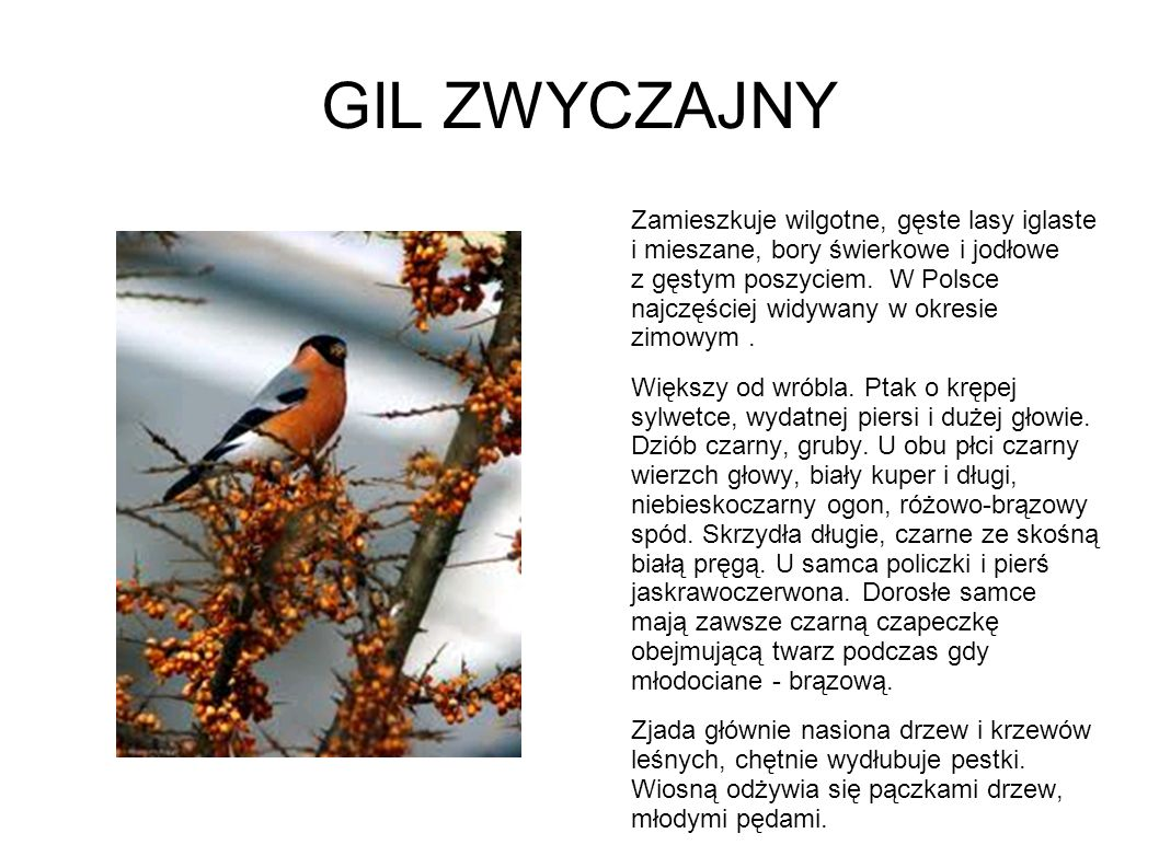 GIL ZWYCZAJNY Zamieszkuje wilgotne, gęste lasy iglaste i mieszane, bory świerkowe i jodłowe z gęstym poszyciem. W Polsce najczęściej widywany w okresi