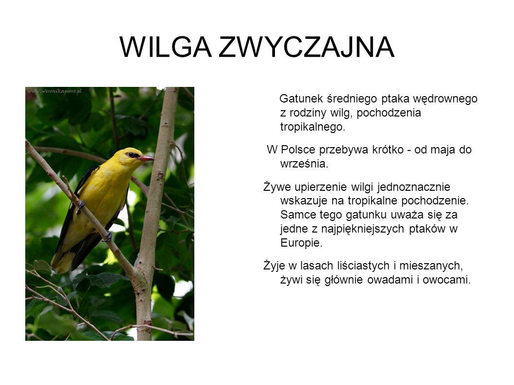 WILGA ZWYCZAJNA Gatunek średniego ptaka wędrownego z rodziny wilg, pochodzenia tropikalnego. W Polsce przebywa krótko - od maja do września. Żywe upie