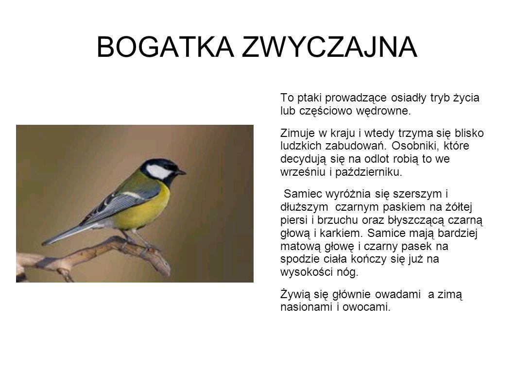 BOGATKA ZWYCZAJNA To ptaki prowadzące osiadły tryb życia lub częściowo wędrowne. Zimuje w kraju i wtedy trzyma się blisko ludzkich zabudowań. Osobniki