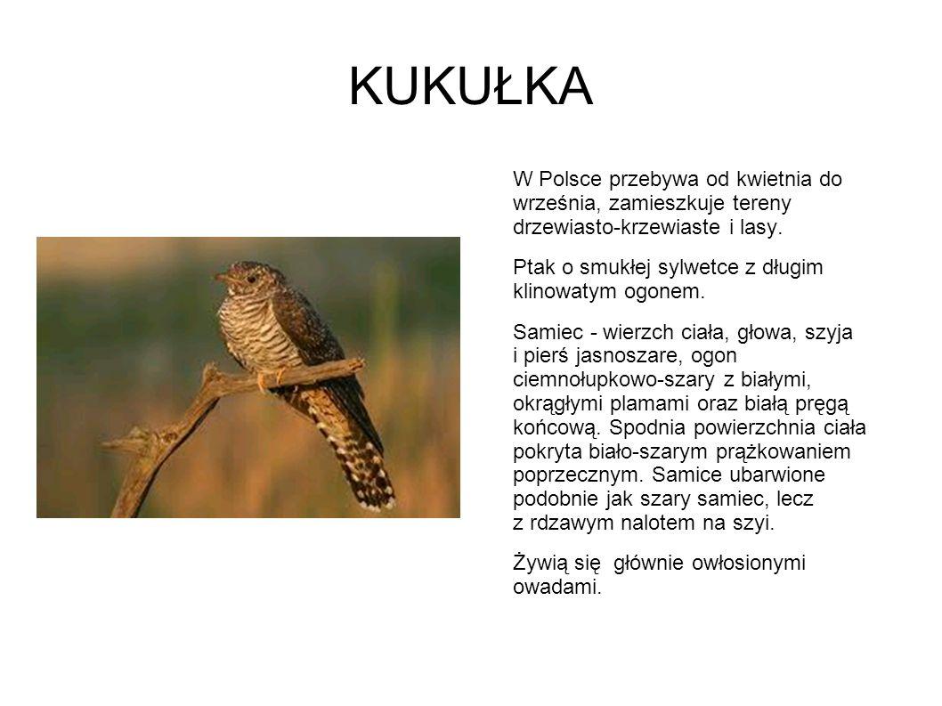 KUKUŁKA W Polsce przebywa od kwietnia do września, zamieszkuje tereny drzewiasto-krzewiaste i lasy. Ptak o smukłej sylwetce z długim klinowatym ogonem