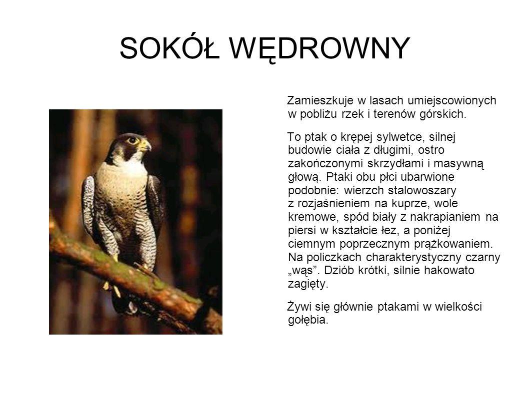 SOKÓŁ WĘDROWNY Zamieszkuje w lasach umiejscowionych w pobliżu rzek i terenów górskich. To ptak o krępej sylwetce, silnej budowie ciała z długimi, ostr