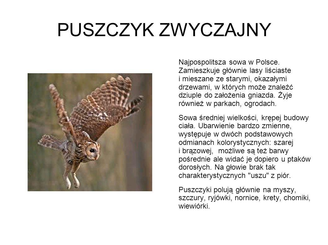 PUSZCZYK ZWYCZAJNY Najpospolitsza sowa w Polsce. Zamieszkuje głównie lasy liściaste i mieszane ze starymi, okazałymi drzewami, w których może znaleźć