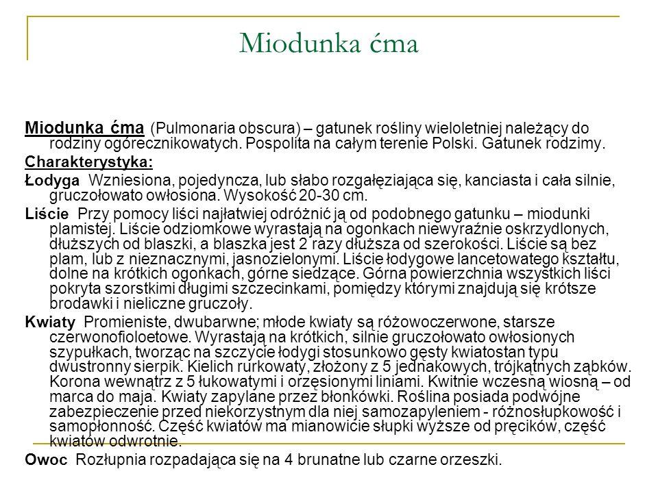 Miodunka ćma Miodunka ćma (Pulmonaria obscura) – gatunek rośliny wieloletniej należący do rodziny ogórecznikowatych. Pospolita na całym terenie Polski