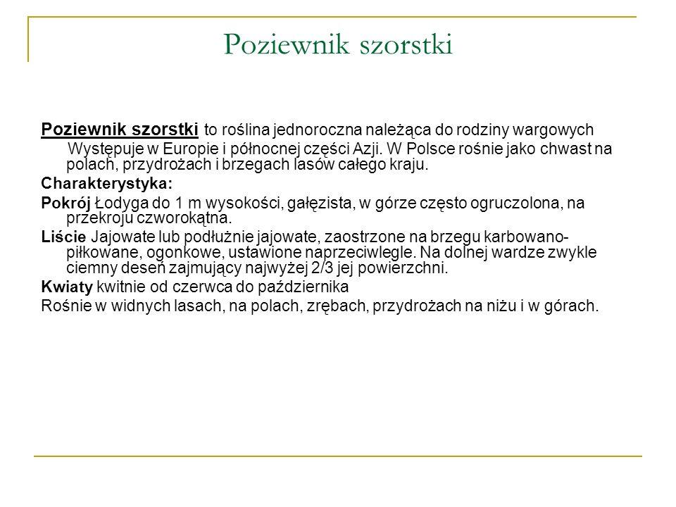 Poziewnik szorstki Poziewnik szorstki to roślina jednoroczna należąca do rodziny wargowych Występuje w Europie i północnej części Azji. W Polsce rośni