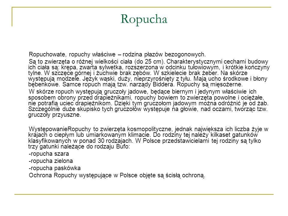 Ropucha Ropuchowate, ropuchy właściwe – rodzina płazów bezogonowych. Są to zwierzęta o różnej wielkości ciała (do 25 cm). Charakterystycznymi cechami