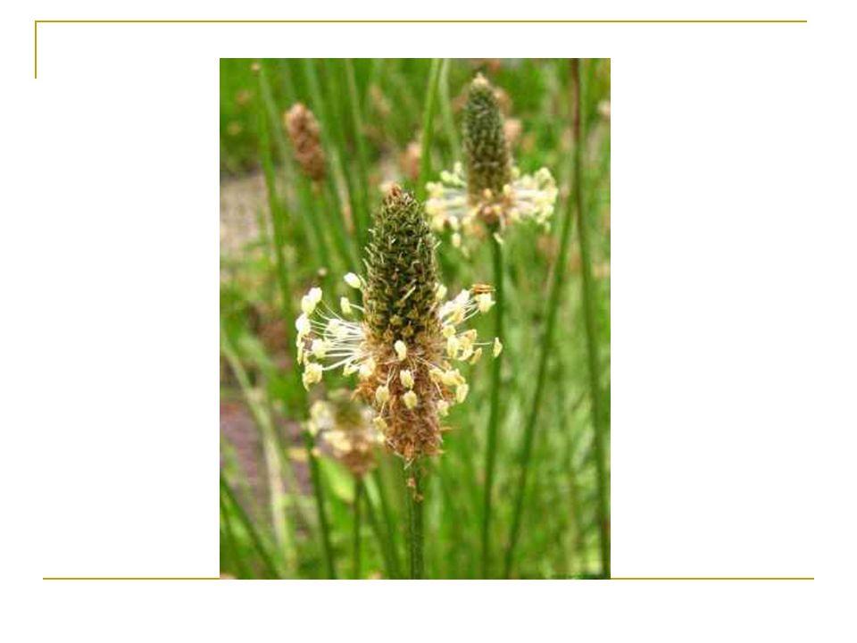 Miodunka ćma Miodunka ćma (Pulmonaria obscura) – gatunek rośliny wieloletniej należący do rodziny ogórecznikowatych.